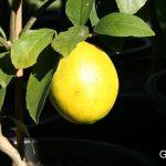 Luscious lemon sago recipe