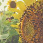 honey bee sunflower