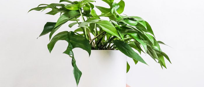 indoor plant monstera