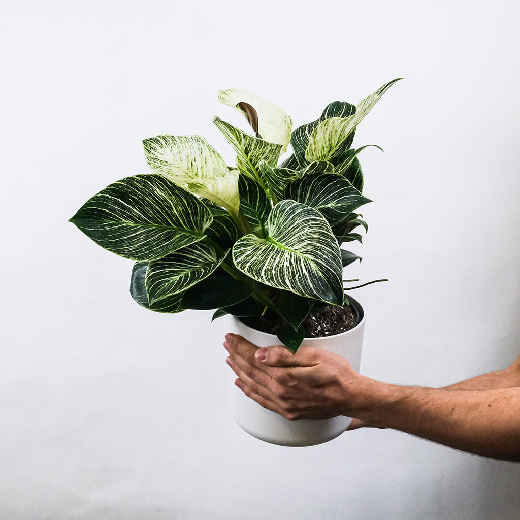indoor plant philodendron